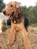 :  > Airedale terier (Airedale Terrier)