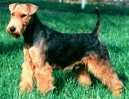 :  > Welsh terier (Welsh Terrier)